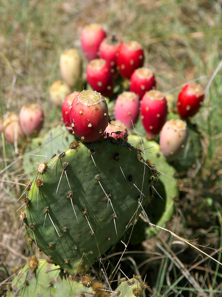 Nopal Cactus or Prickly Pear. Common Domain photo from Wiki-commons.